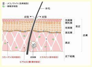 皮膚の構造.jpg